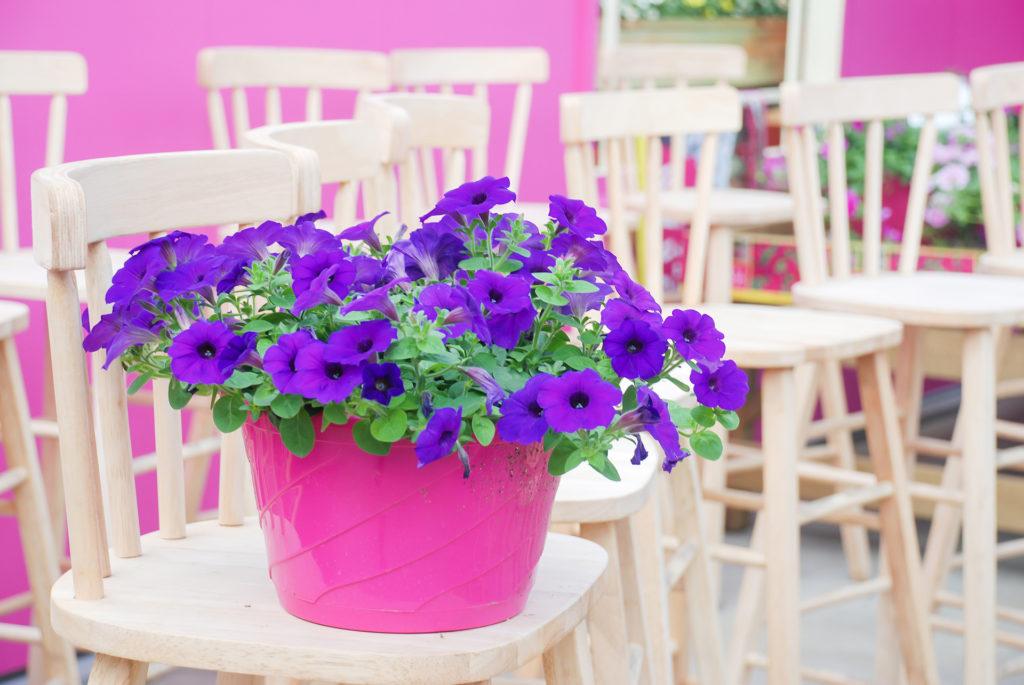 Petunia ,Petunias in the tray,Petunia in the pot, Purple petunia ;