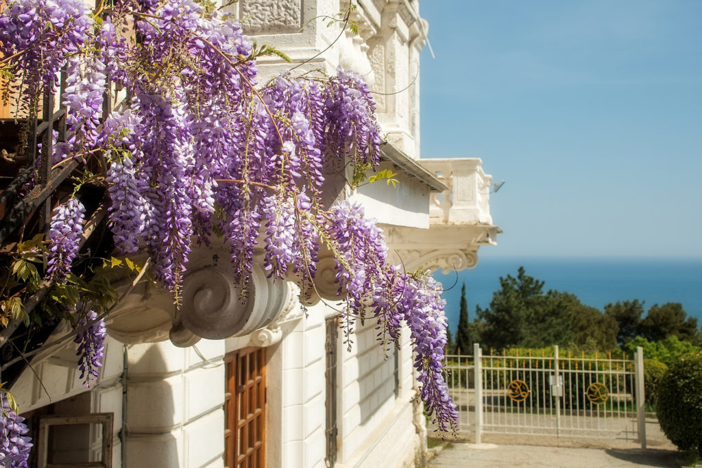 Purple Wisteria blossoms on a background of the sea. Natural home decoration with flowers of Chinese Wisteria (Fabaceae Wisteria sinensis).;