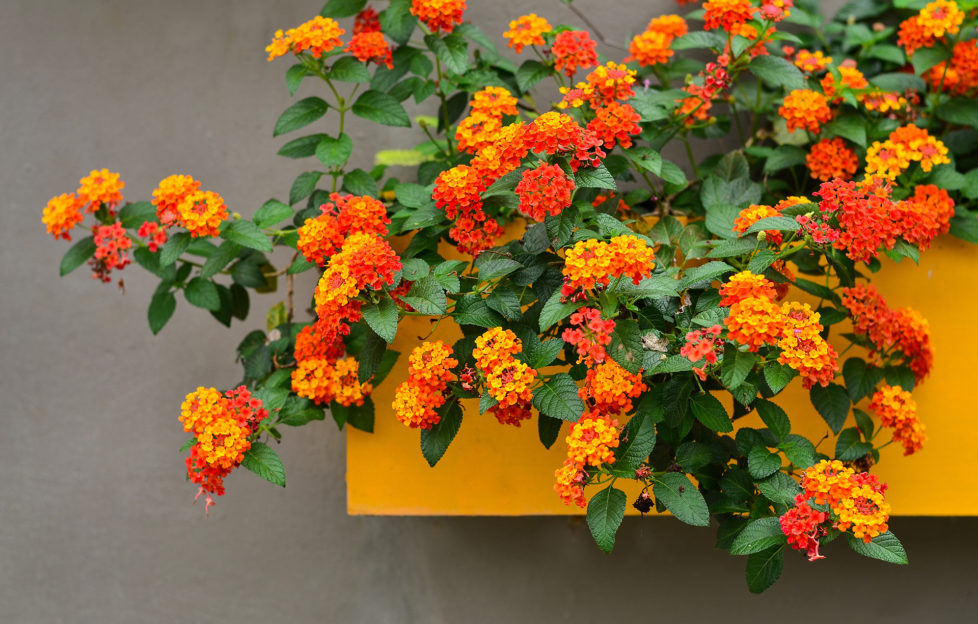 Cloth of Gold, Beautiful Colorful Hedge Flower, Lantana camara, Linn, VERBENACEAE,Tropical flower background on yellow Floating pots in the garden;