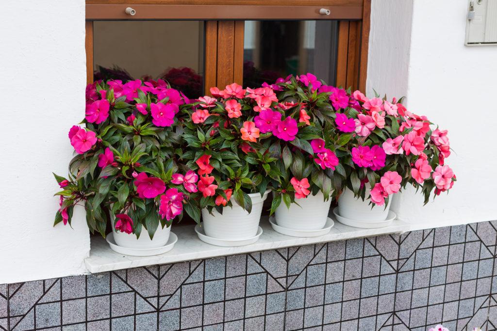 Bright pink impatiens hawkeri, the New Guinea impatiens, in white flower pots;