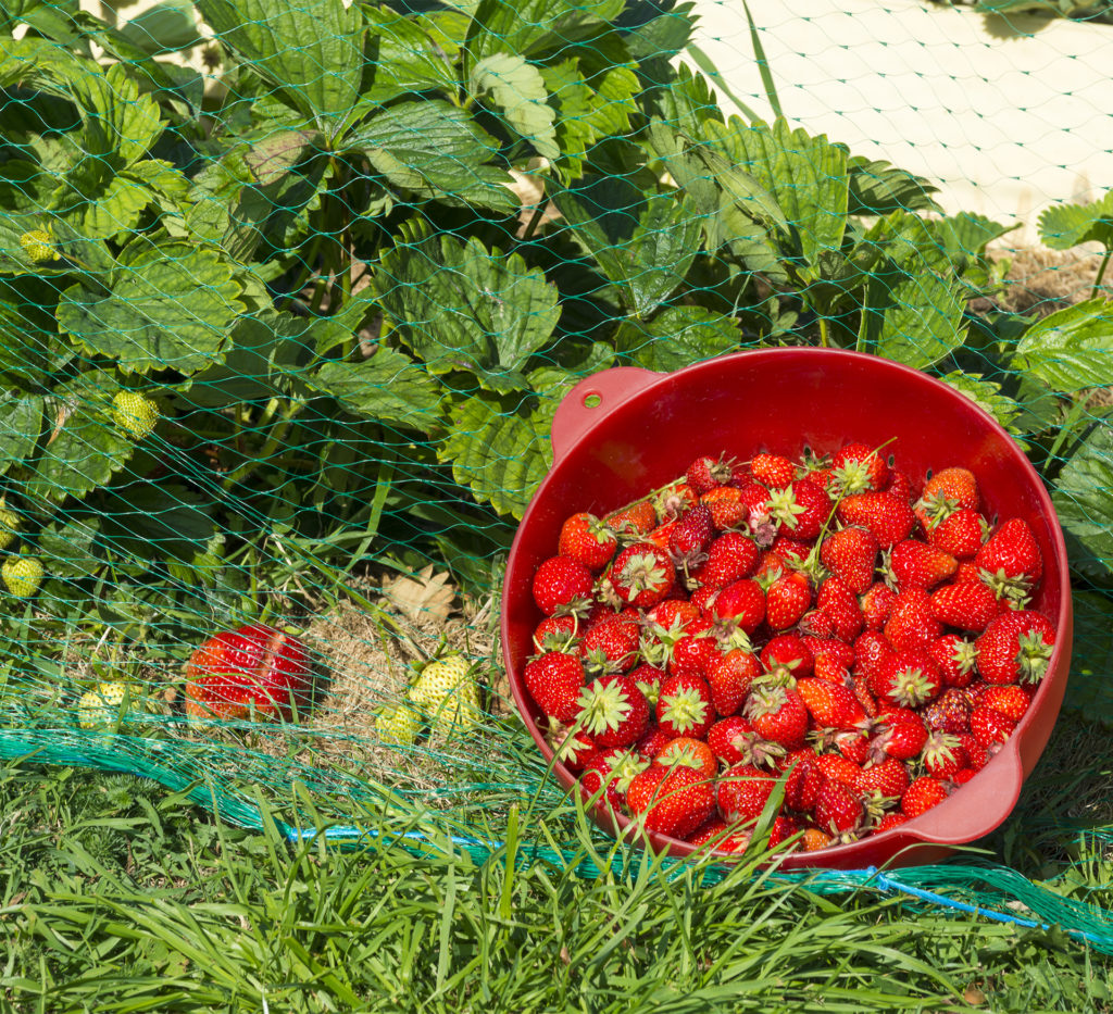 Strawberries growing under netting, bowl of ripe strawberries in front