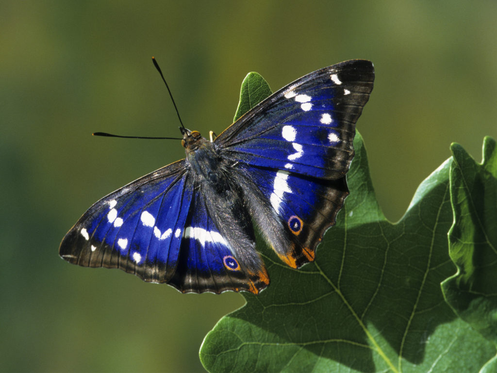Rare Purple Emperor butterfly, deep purple-blue and black wings with white patterns and orange lower tips, on an oak leaf