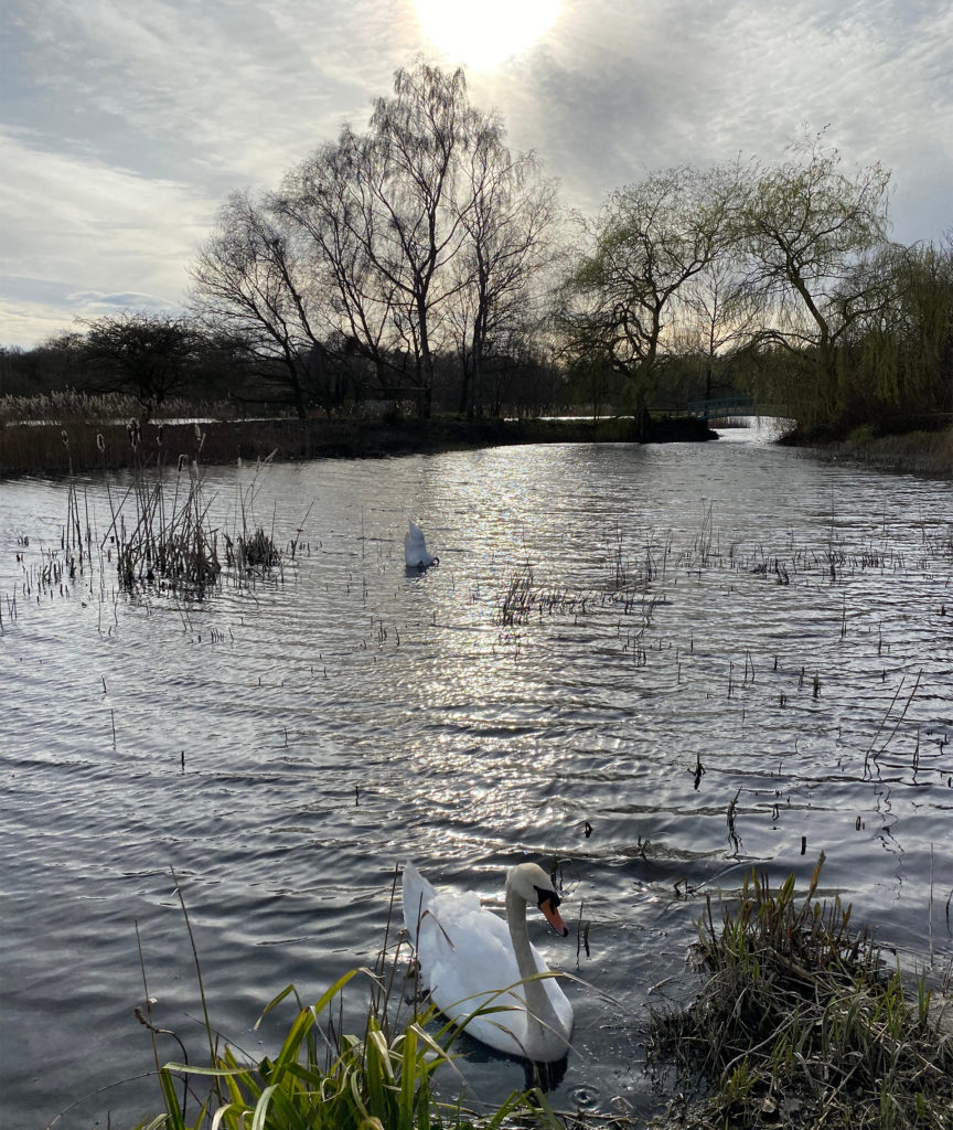 Swan on rippling water, trees and hazy sun behind