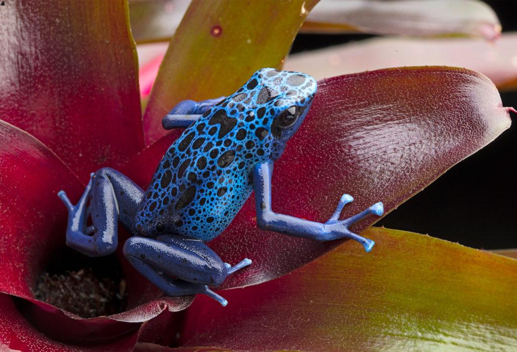 Blue and black poison dart frog on a red leaf