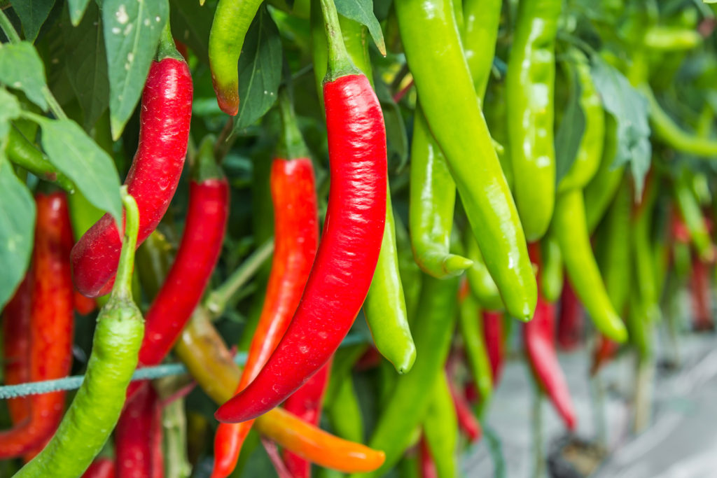 Red and green chilies growing in a vegetable garden. Ready for harvest.;