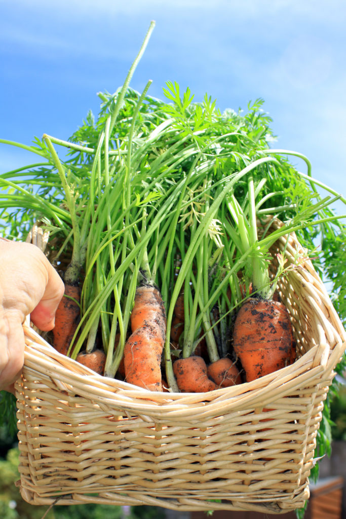 A first crop of organically grown carrots in a square wicker basket being held aloft against a bright blue summer sky.;