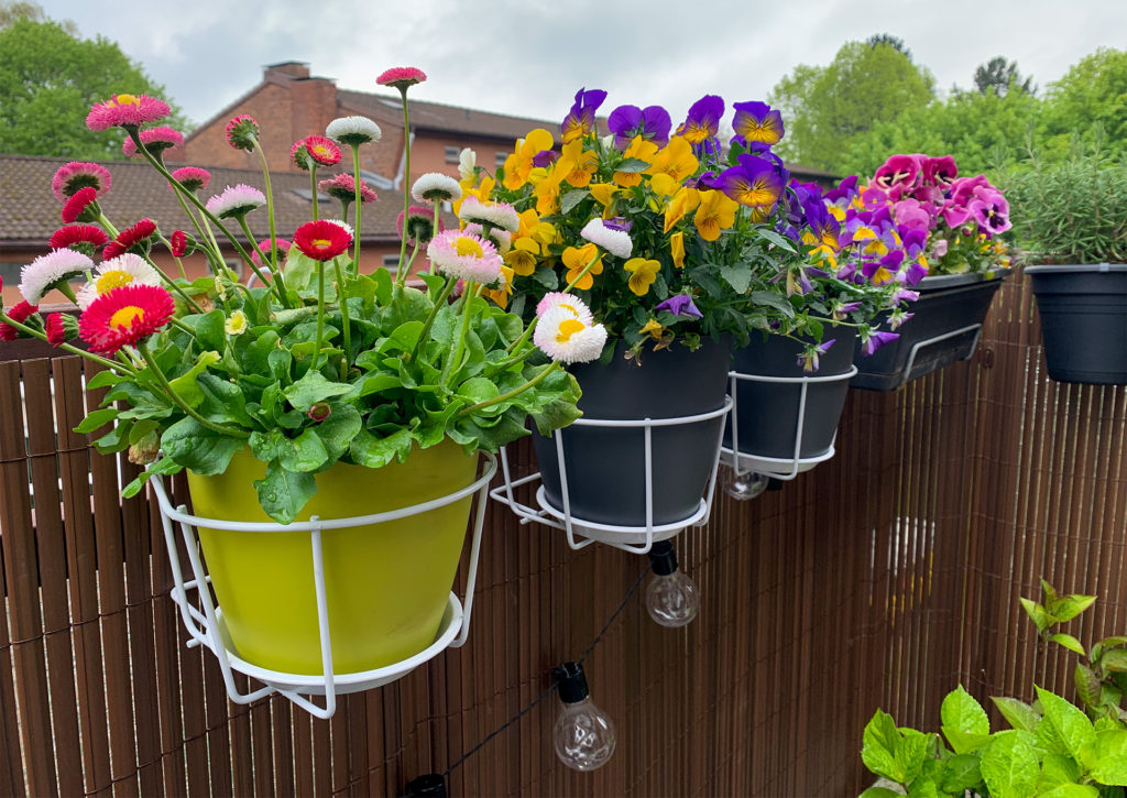 3 pots of flowers, daisies, pansies and carnations, hung on garden fence in wire baskets