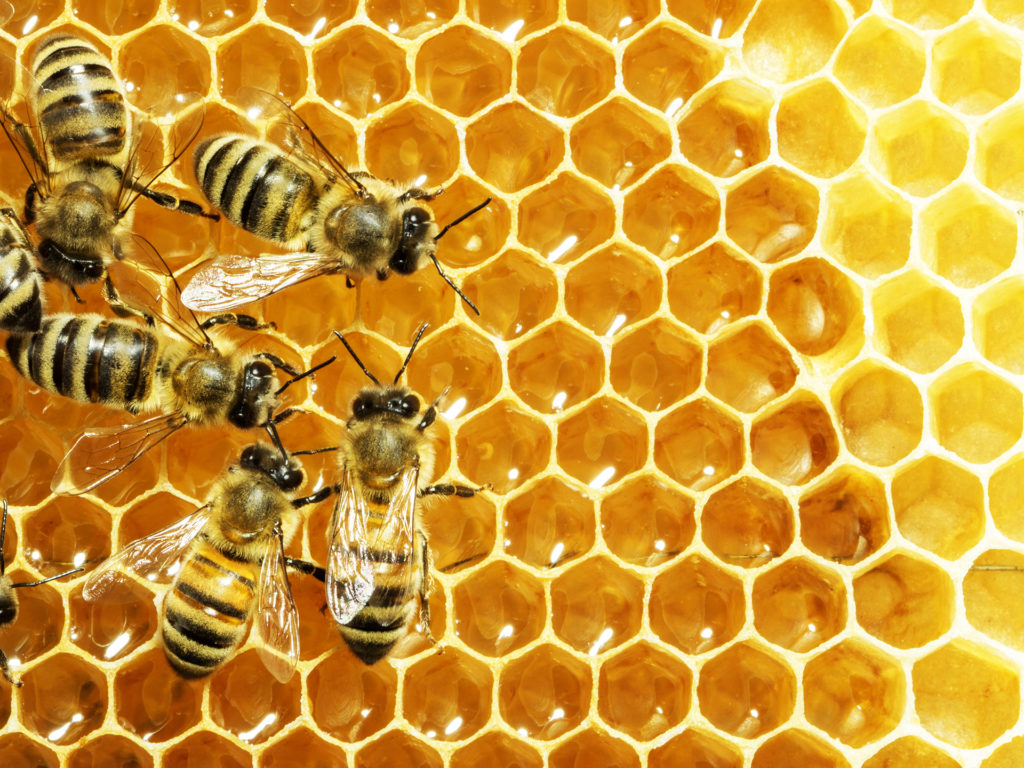 Close up view of the working bees on honey cells;