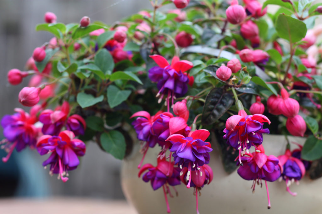 Purple Fuchsia in pot;