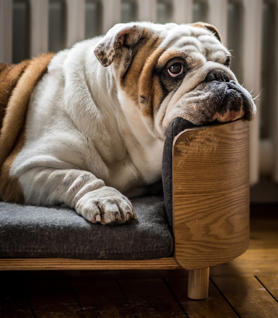 Bulldog lies in dog bed, chin on the edge, looking up