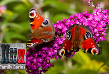2 peacock butterflies on a spike of purple buddleia flowers