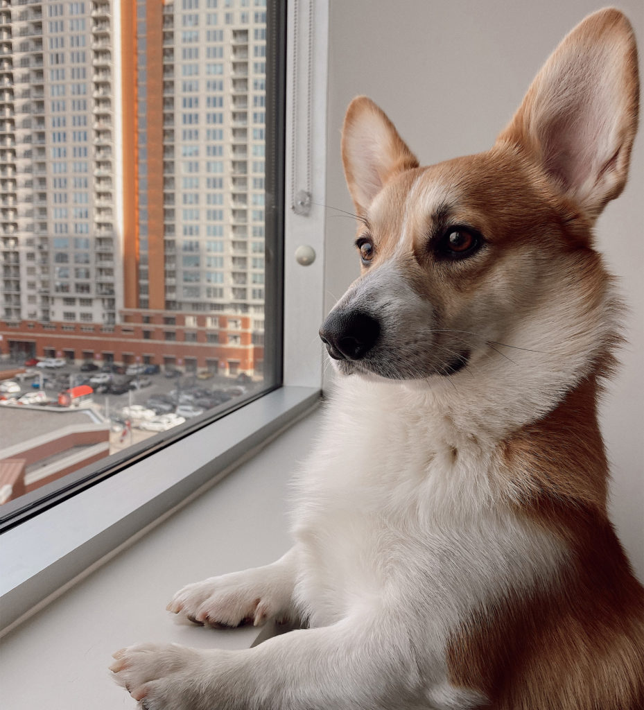 White and tan corgi stands with front paws on windowsill of high-rise flat, looking out at city scene