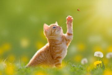Ginger kitten in sunny garden trying to catch flying ladybird
