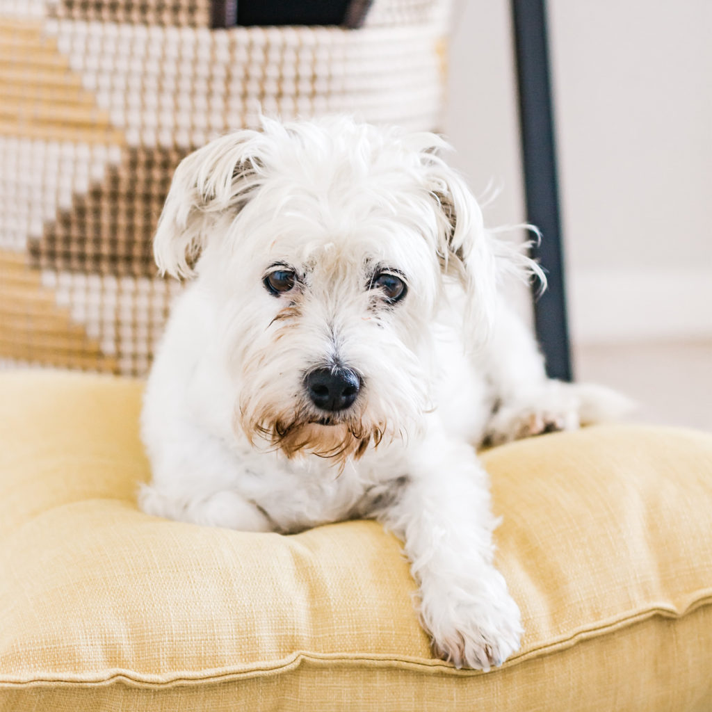 Small white terrier sitting on cushion looking sad