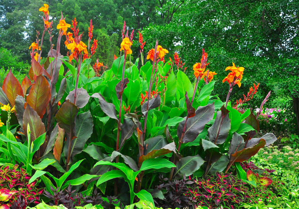 Vivid orange and yellow canna flowers, green leaves and contrasting reddish leaves