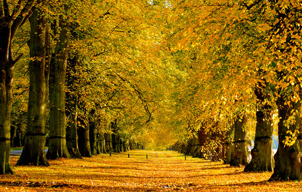 Autumn glory, avenue of Lime trees with golden leaves in nottinghamshire, UK;