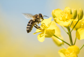 Honey Bee collecting pollen on yellow rape flower against blue sky - close up