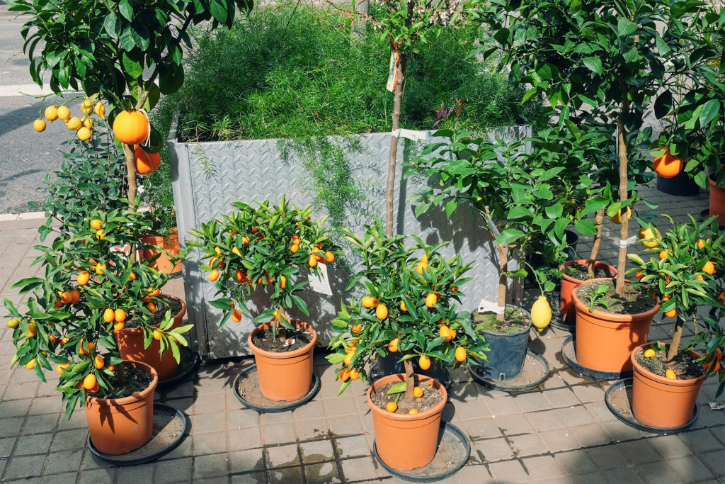 Orange, lemon, kumquat and mandarin trees in pots on path