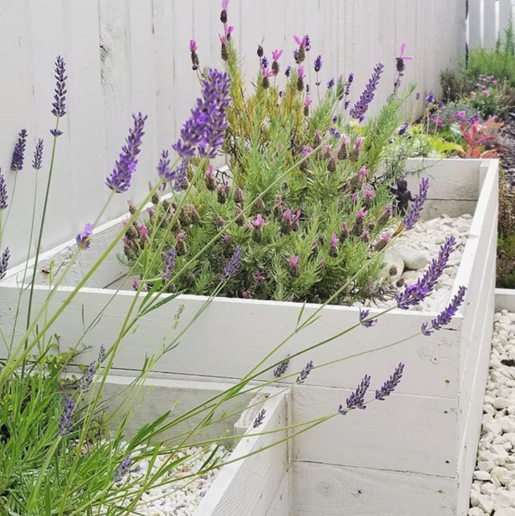 White painted wooden raised beds with different types of lavender, white gravel around them