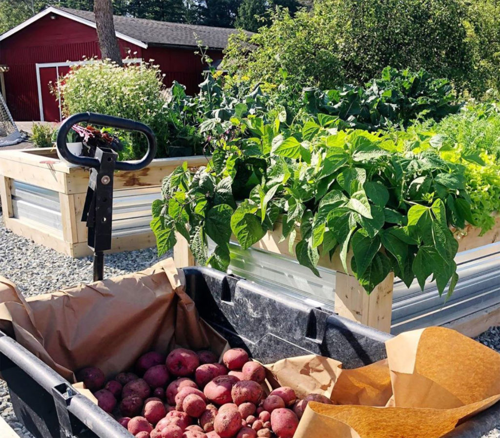 Healthy potato plants and other plants in raised beds with corrugated plastic sides, trailer full of red potatoes in foreground