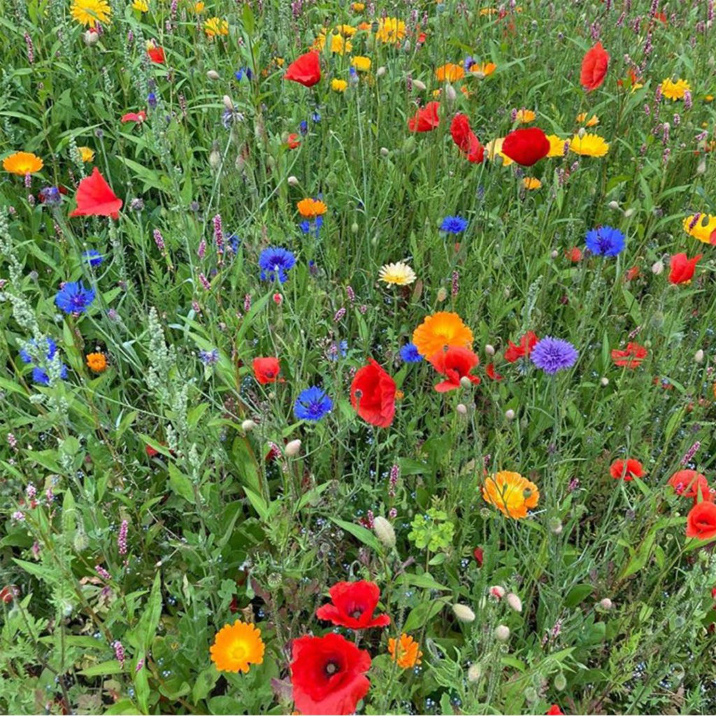 Bright cornflowers, poppies and marigolds in a wildflower meadow