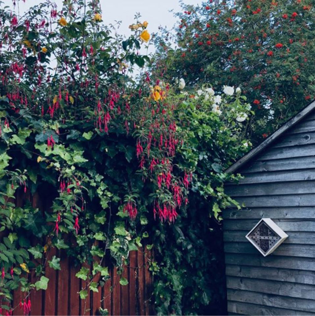 Bushes with 3 different coloured flowers leaning over fence. One is fuchsia