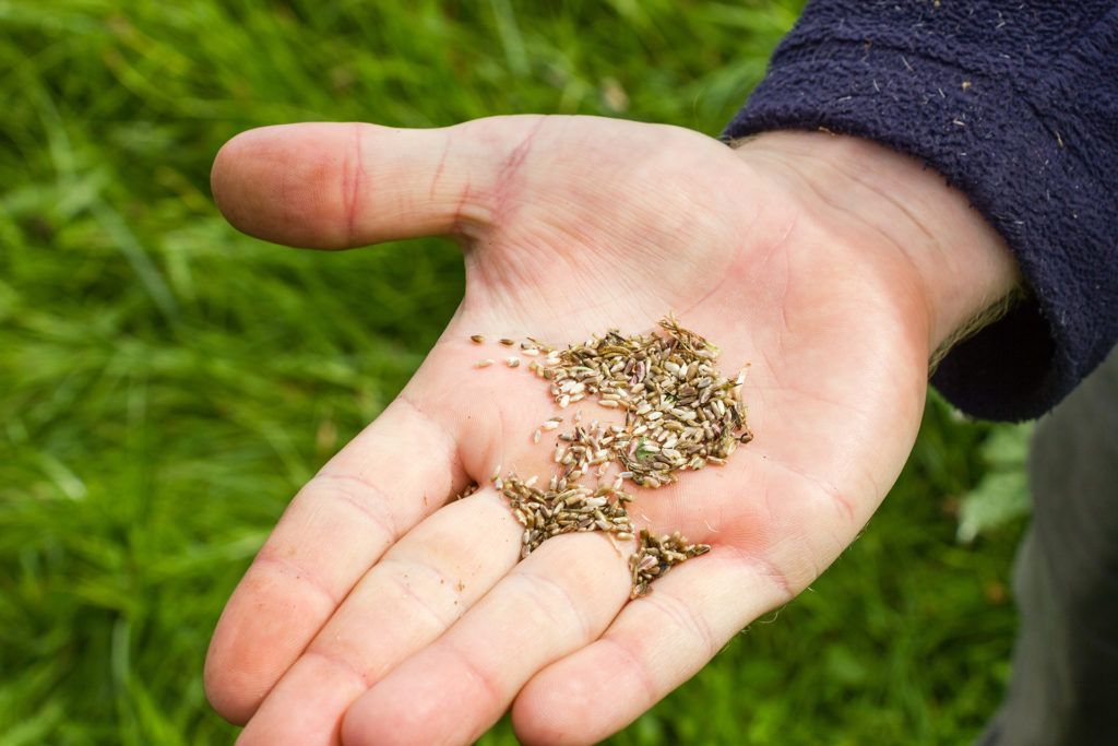 Man's hand holding wildflower seed that has been collected