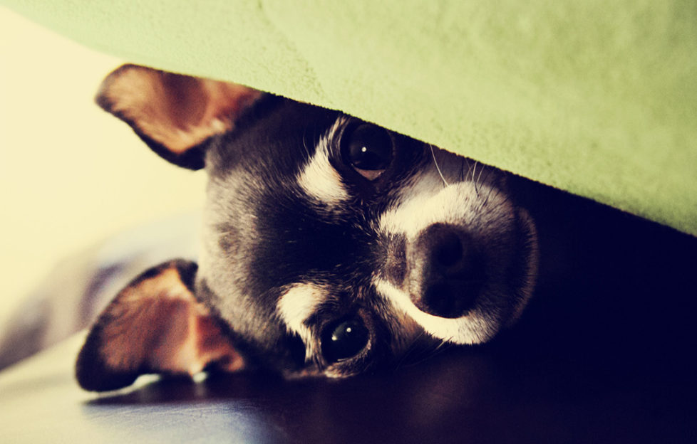 chihuahua under blanket on a couch. Keep dogs calm during fireworks