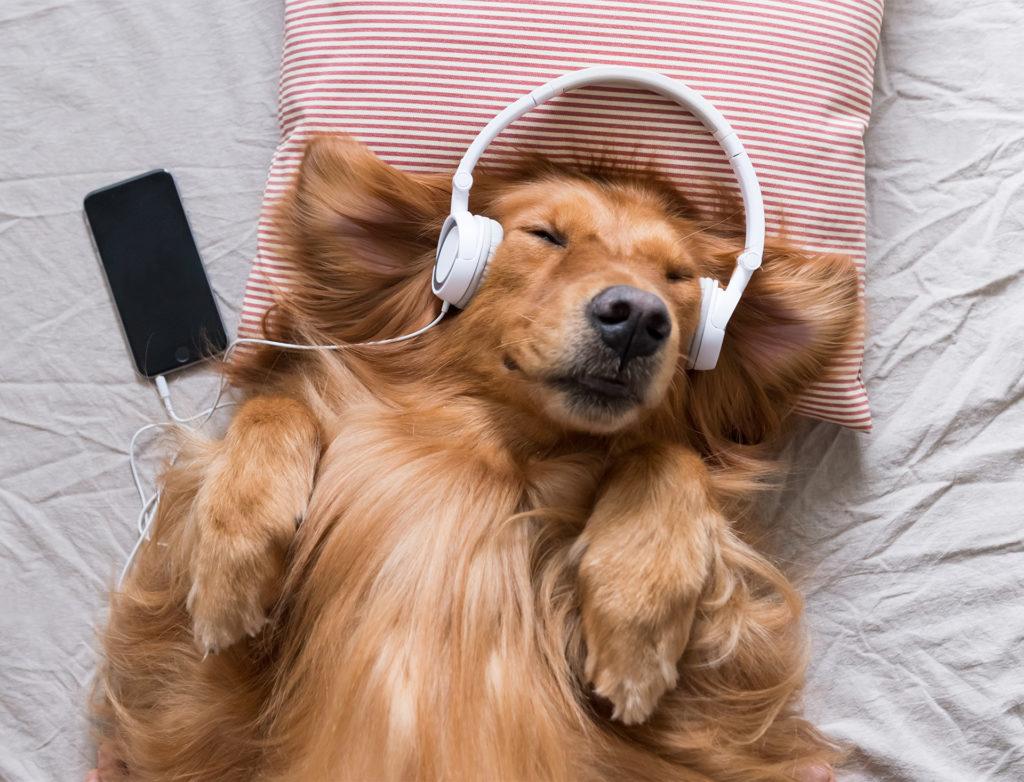 Golden Retriever wearing headphones listening to music, eyes closed, lying on back