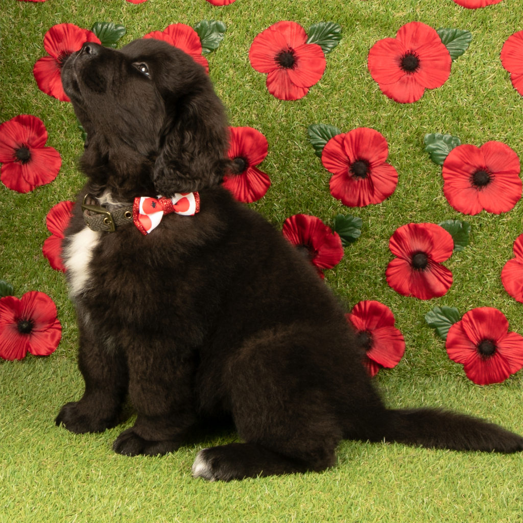 black puppy with poppy printed bow on collar