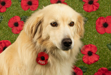 Golden retriever with poppy tag on collar