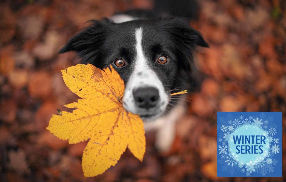 Border Collie dog is holding a leaf with his mouth