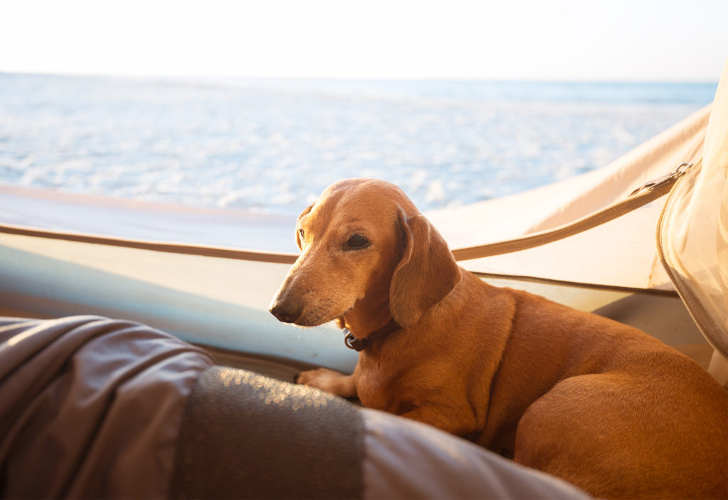 Happy dachshund sitting in a tent looking at the sea
