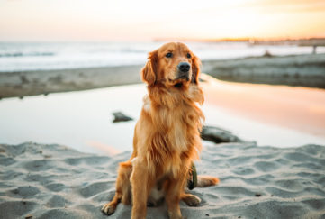 Happy retriever dog sitting on white sand beach, pools and sea behind, golden evening light