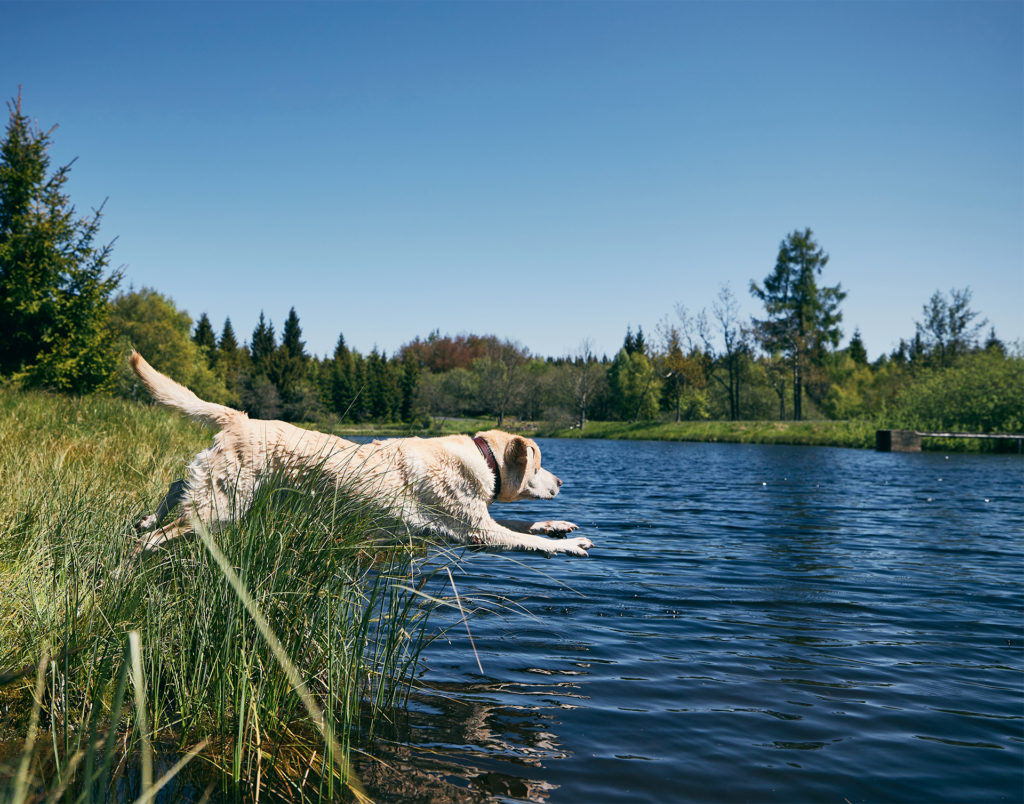 Retriever dog leaping into lake on a sunny day