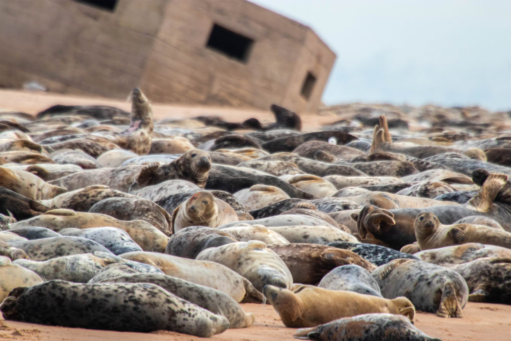 beach crowded with seals, gun emplacement leaning, sinking into sand