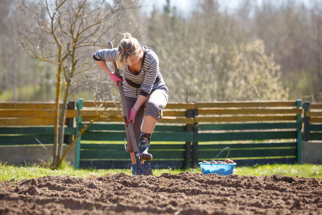 Woman working in garden, with a shovel planting potatoes;