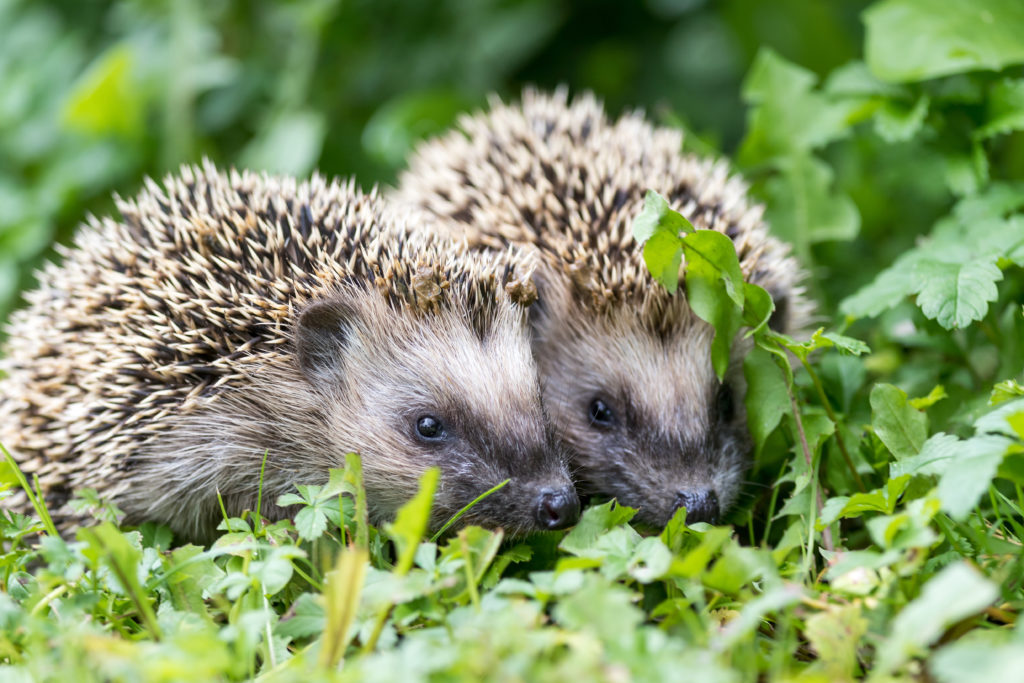 Pair of little hedgehogs are feeding on fresh green grass.;