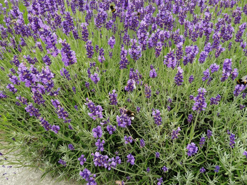 Lavender 'Loddon Blue'