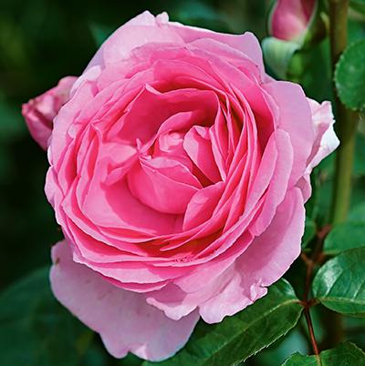 Mum in a Million Rose