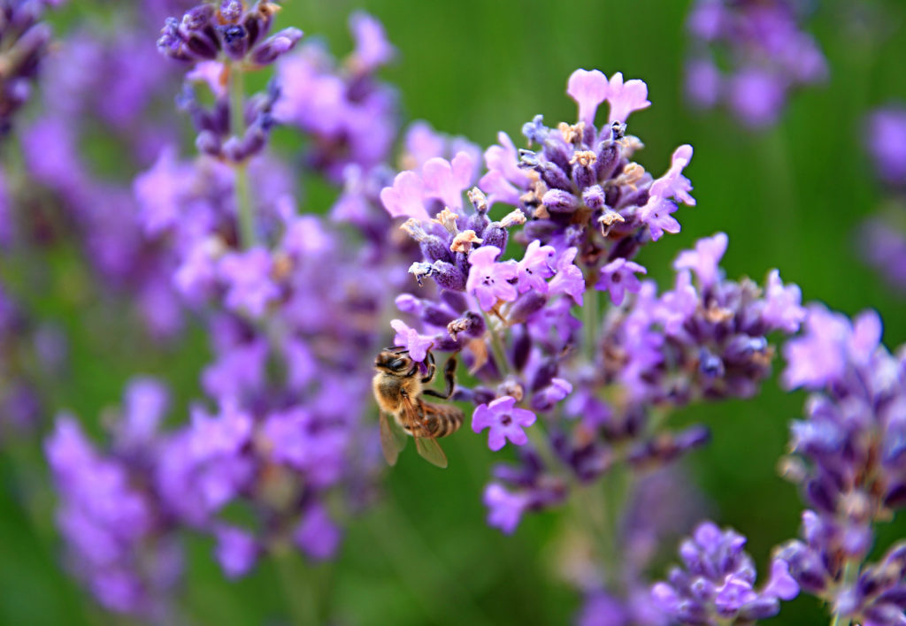 bee on lavender flower's in a field filled with colours and fragrance no people stock photography stock photo;