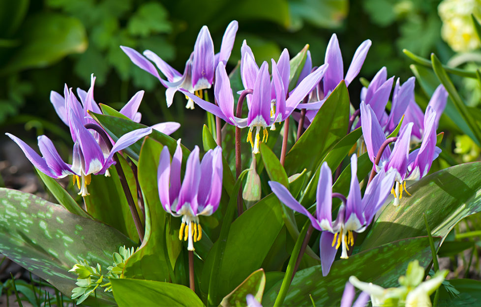 Dogs tooth violets growing in a shady garden