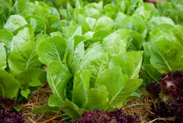 Growing lettuce in rows in the vegetable garden;