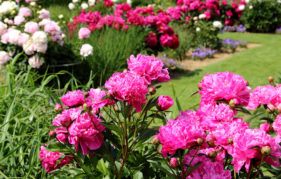 May gardening jobs. View of peonies and other bright red and pink flowers