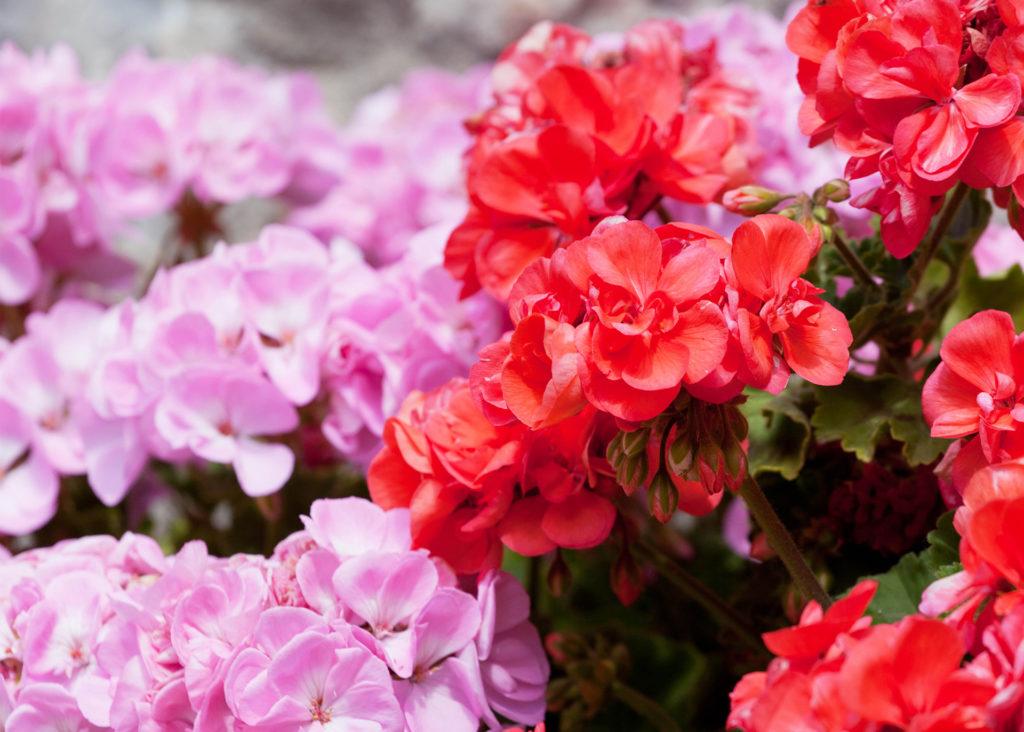 mixed geraniums