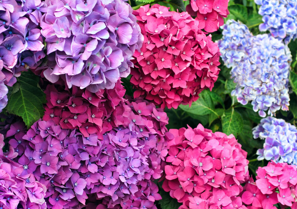 Hydrangea bushes with 3 colours of blooms, purple, salmon pink and pale blue
