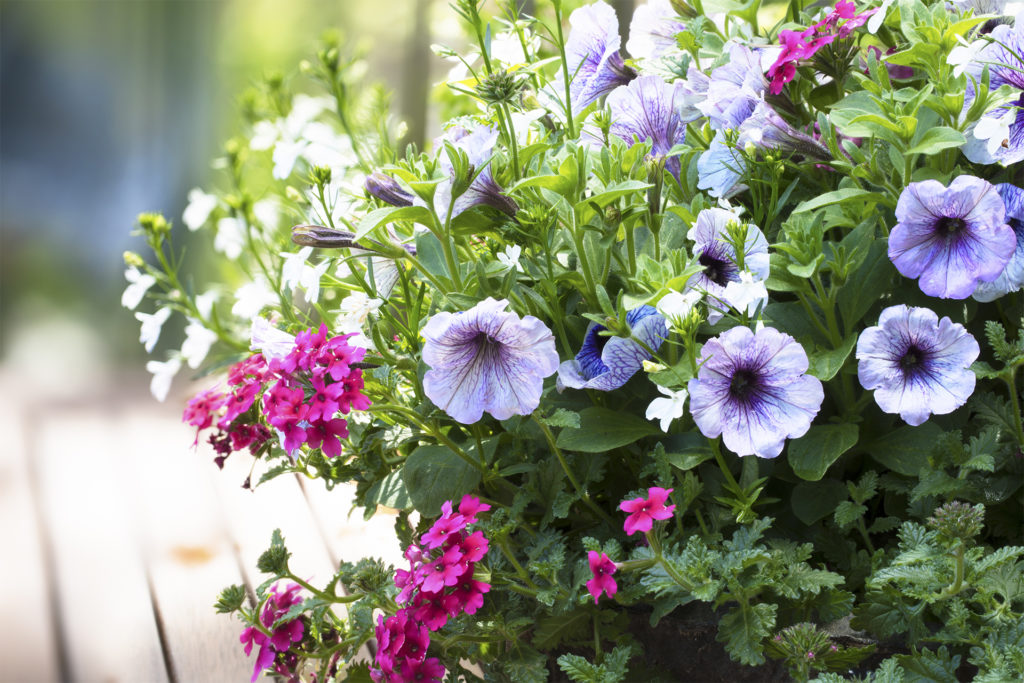 Spring flower basket with variegated purple petunias and pink verbena flowers on outdoor table