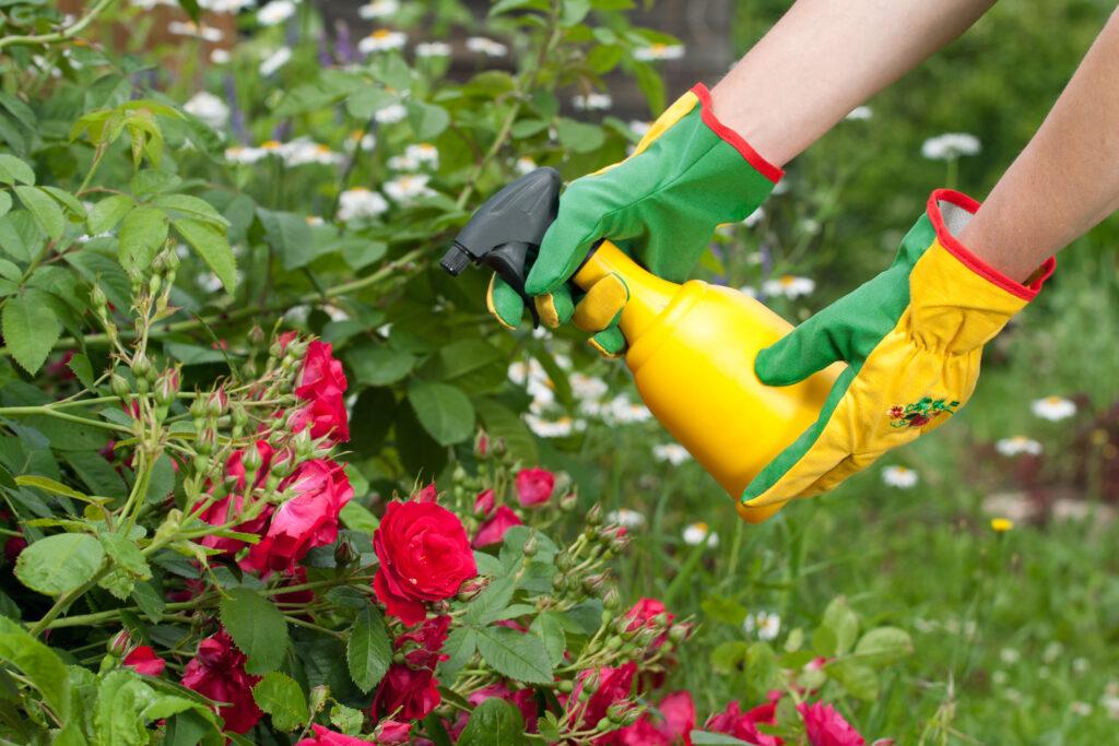 Spraying roses in a garden