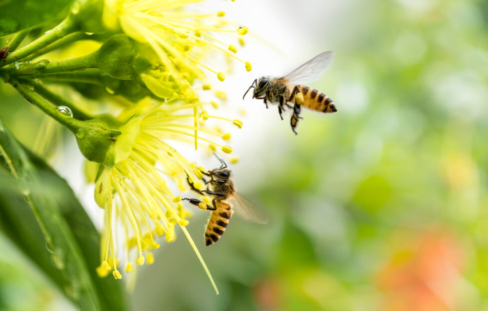 Flying honey bee collecting pollen at yellow flower.Bee flying over the yellow flower