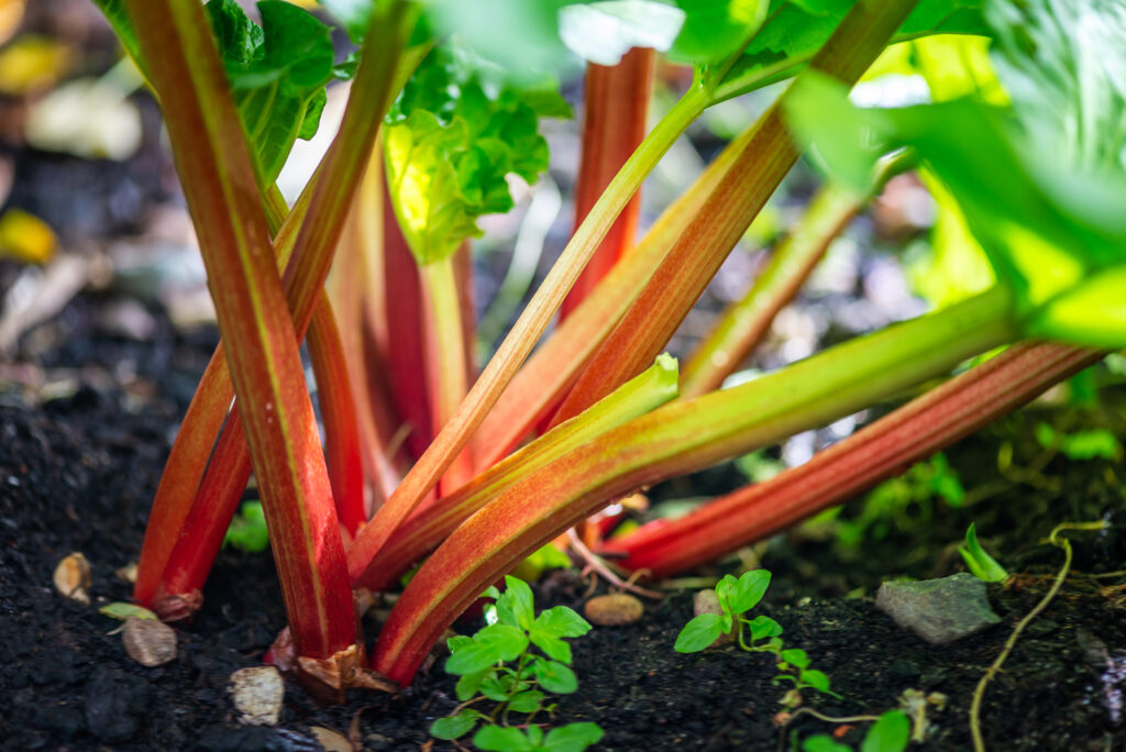 Rhubarb growing in the garden during spring